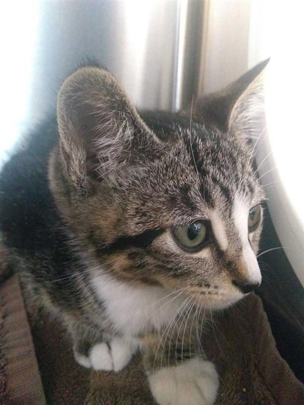 Mark - Domestic Short Hair Kitten