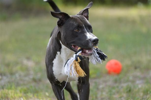 Scooby - Pit Bull Terrier Dog