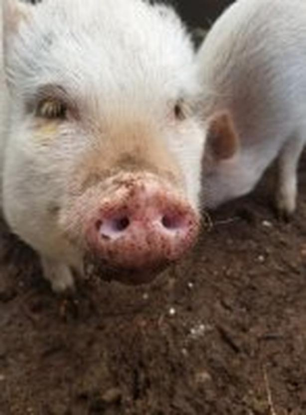 Pigs up for adoption thru Broken Promises Rescue