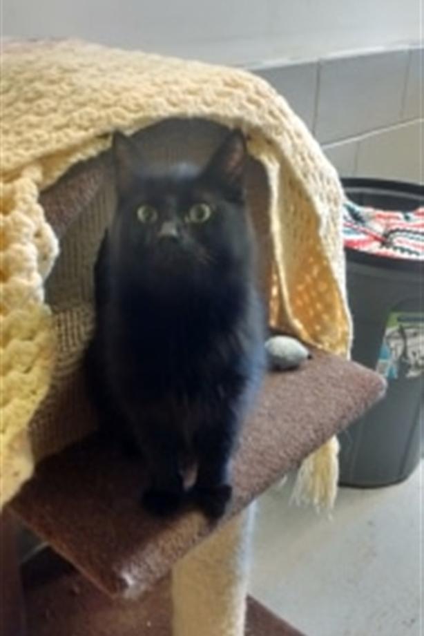 Toothless - Domestic Medium Hair Cat