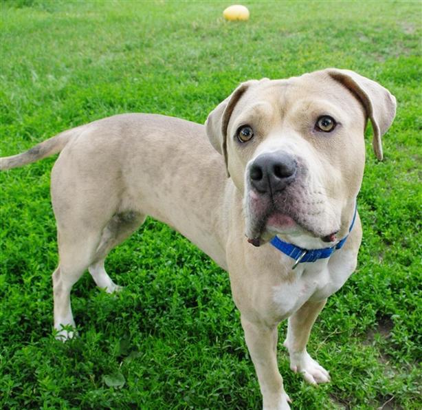 Dani - Pit Bull Terrier Dog