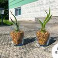 Air plants in decorative jar
