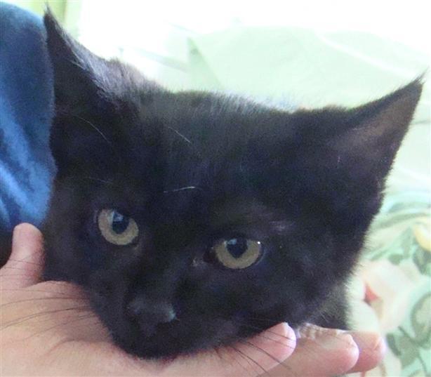 Goldie - Domestic Short Hair Kitten