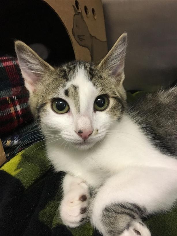 Thomas - Domestic Short Hair Kitten