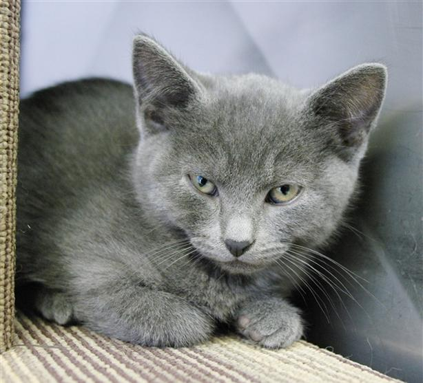 Mercury - Domestic Short Hair Kitten