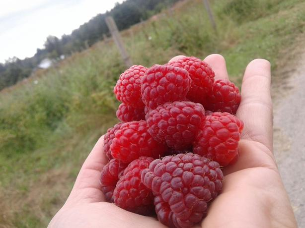 RASPBERRIES!!!  Season Almost finished!!!!