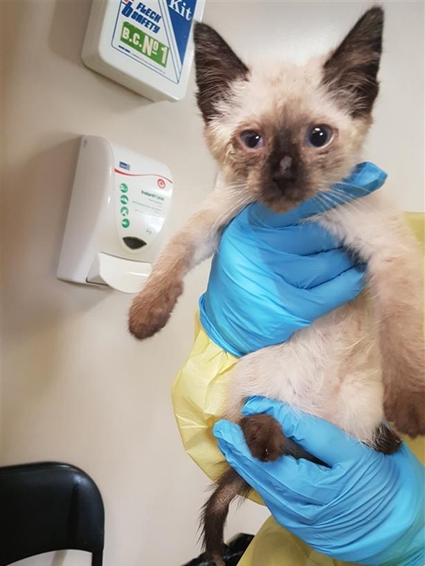 Nora - Siamese Kitten