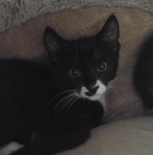 Goober - Domestic Short Hair Kitten