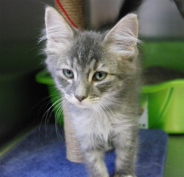 Smokey - Domestic Short Hair Kitten