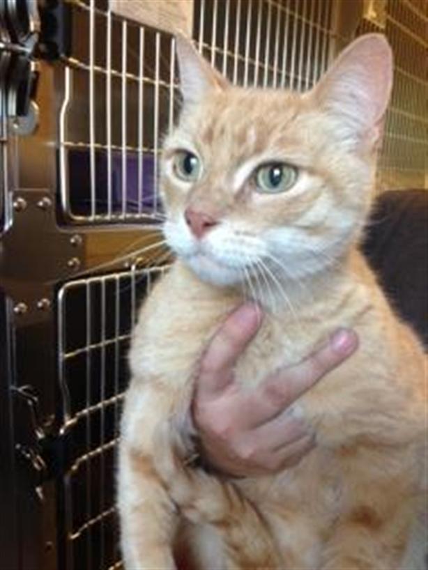 Bromley - Domestic Short Hair Cat