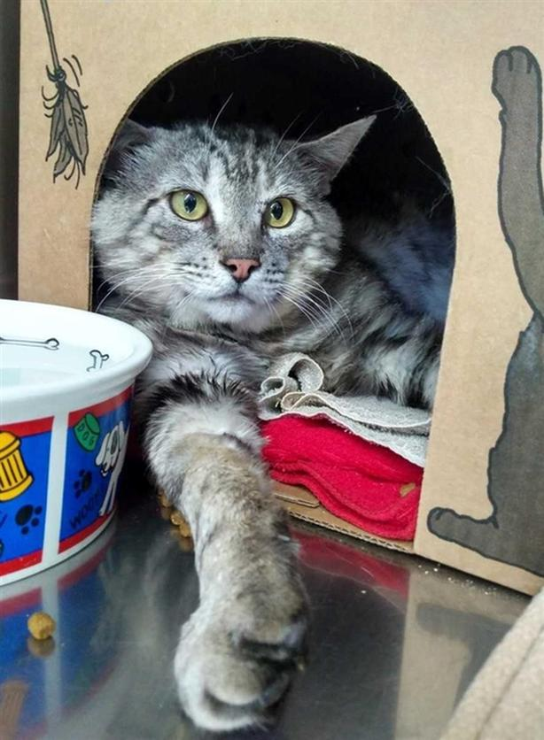 (venables Drive) Cheeks - Domestic Short Hair Cat