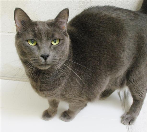 Swifty - Domestic Short Hair Cat