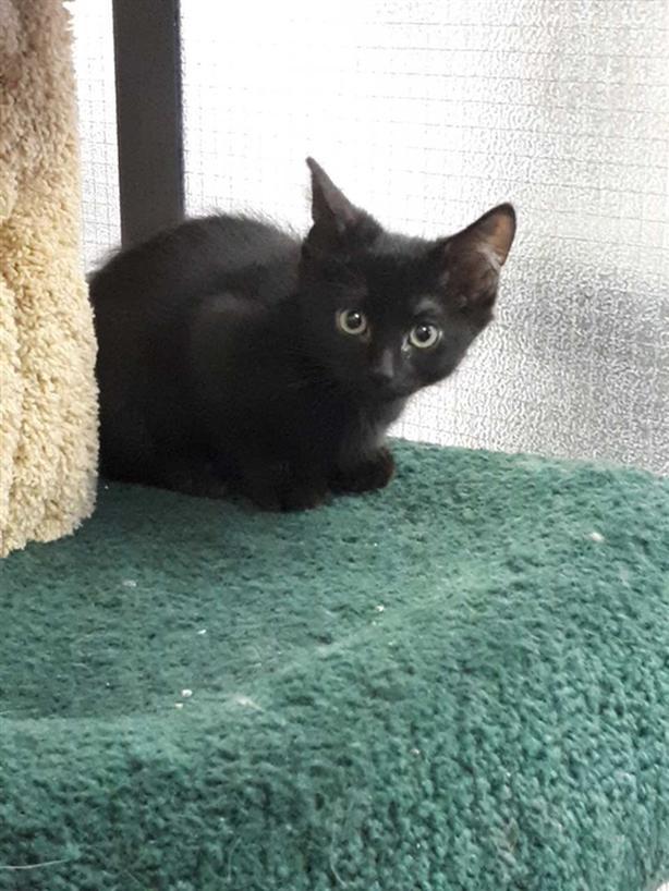 Grant - Domestic Short Hair Kitten