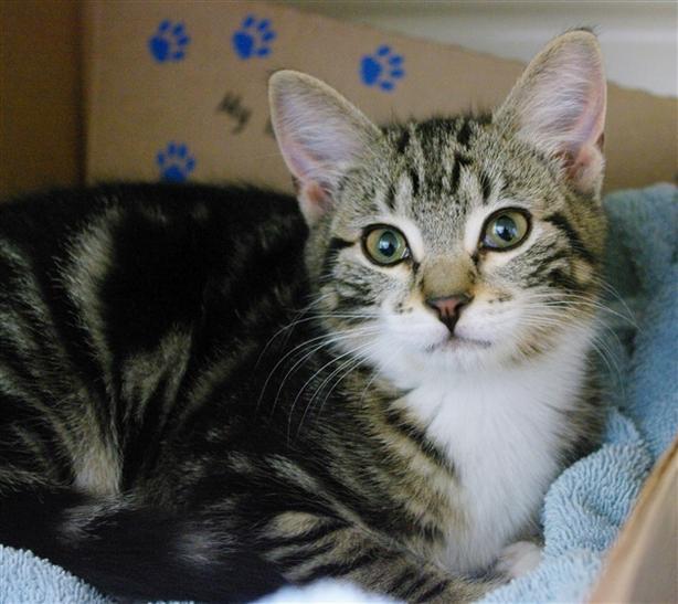 Ozzie - Domestic Short Hair Kitten