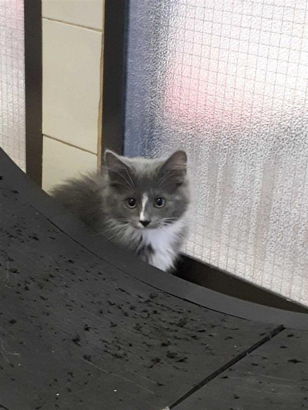 Greysen - Domestic Longhair Kitten