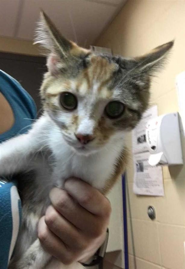 Sally - Domestic Short Hair Kitten