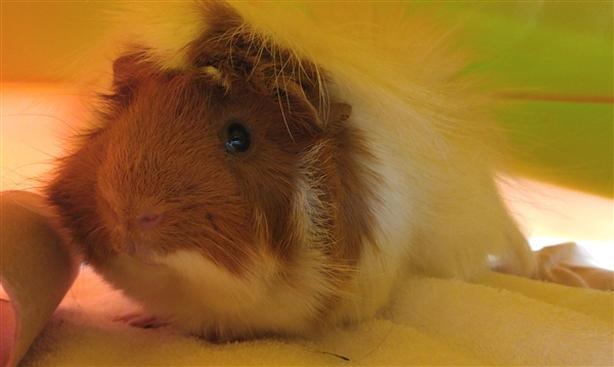 Harry - Guinea Pig Small Animal