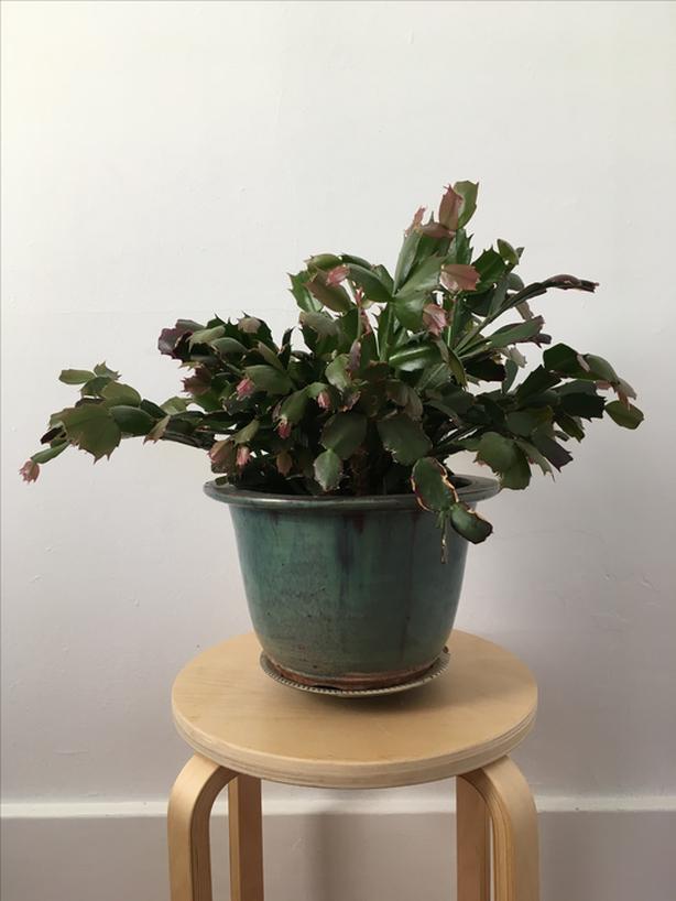 Mature Christmas Cactus