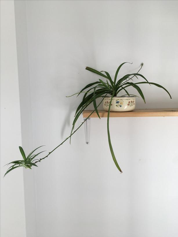 Spider plant in vintage floral pot
