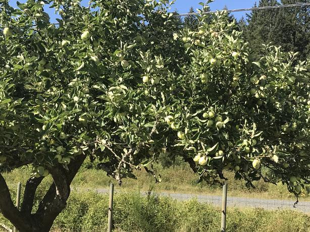 Transparent Apples for Sale