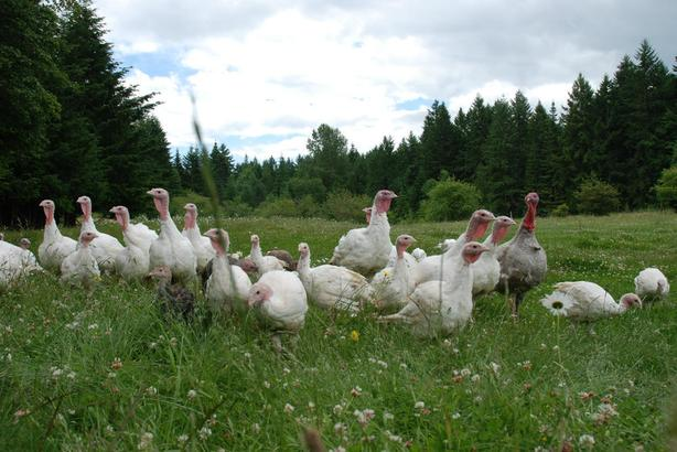 BC Turkey Quota for Sale (BC)