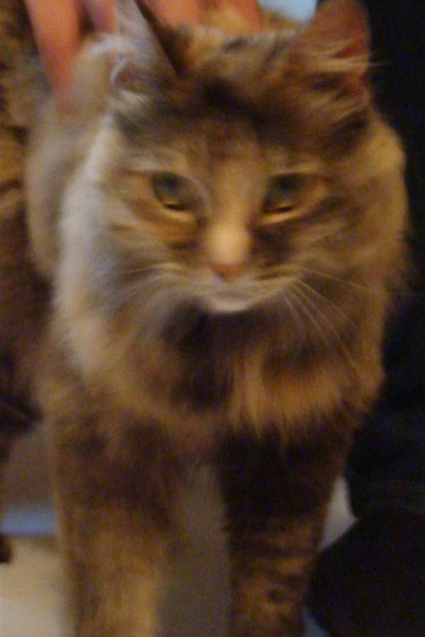 Fefe - Domestic Longhair Cat