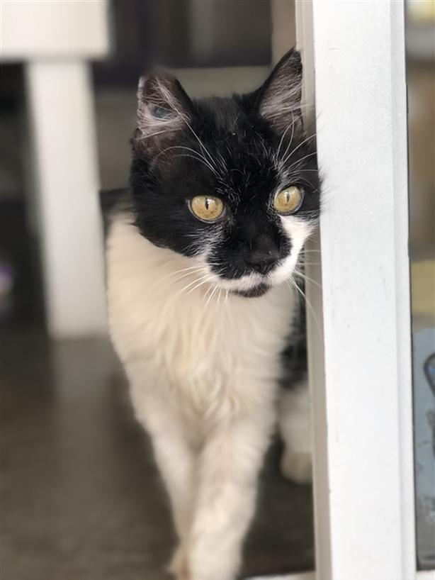 Old Joe Domestic Medium Hair Cat Chilliwack Vancouver