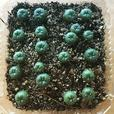 Lophophora Williamsii Cactus Seeds