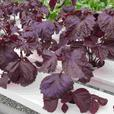 Greenhouse Grown Fresh Leafy Greens CSA program