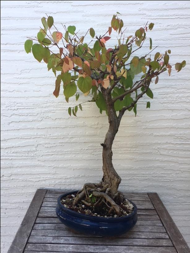 Katsura Bonsai Saanich Victoria Mobile