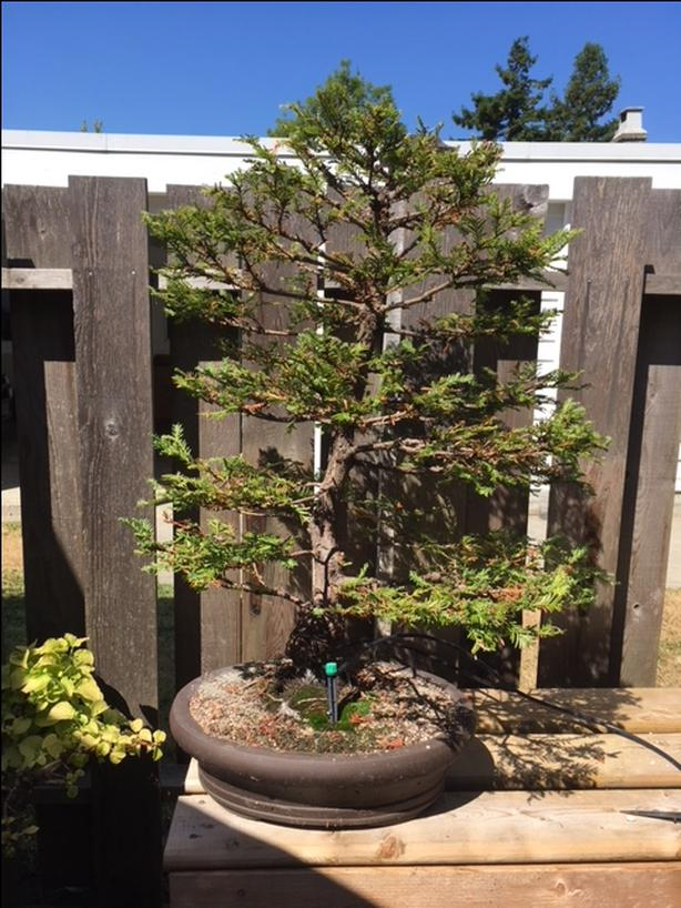 Coastal Redwood Bonsai Saanich Victoria Mobile