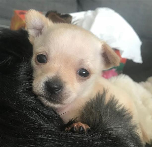 Vanilla Bean - Yorkshire Terrier Puppy