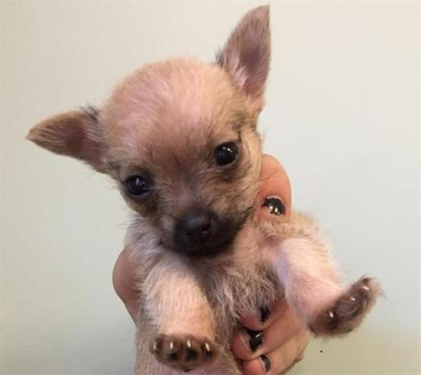 Cocoa - Yorkshire Terrier Puppy