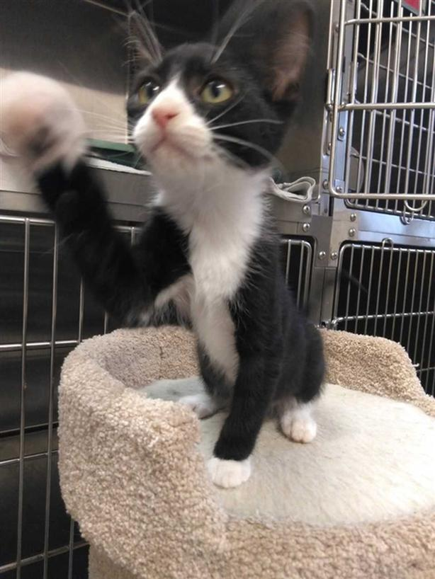 Kylo - Domestic Short Hair Kitten