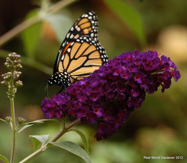 Purple Butterfly bush plants