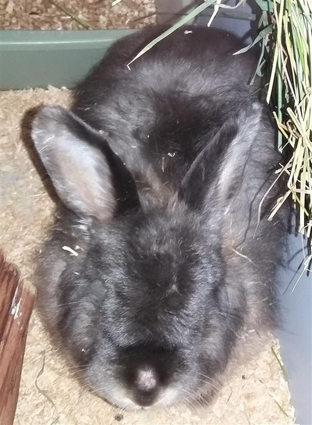Jules - Angora Rabbit