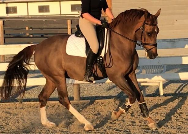 Lovely Gelding for Lease