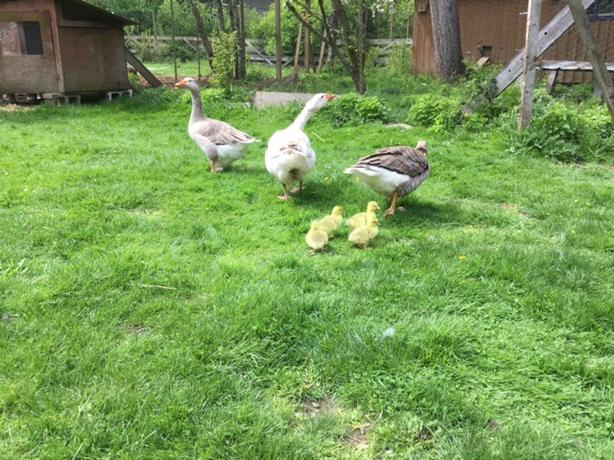 Breeding Trio