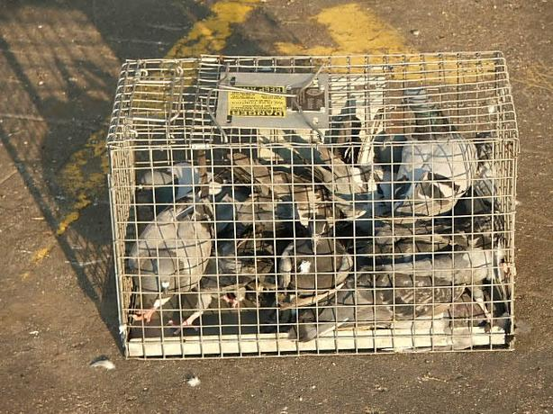 Do You Have Trouble With Pigeons
