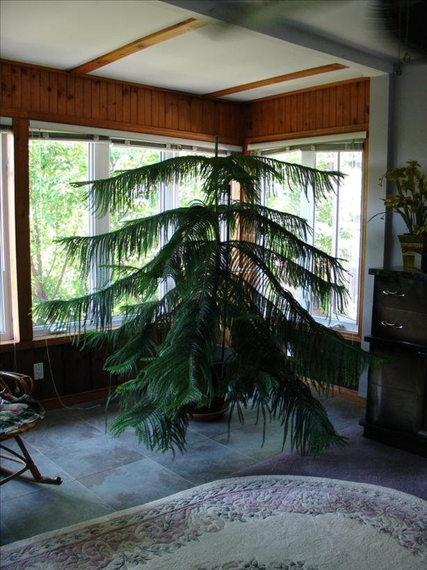 7 FT NORFOLK PINE (HOUSE PLANT)