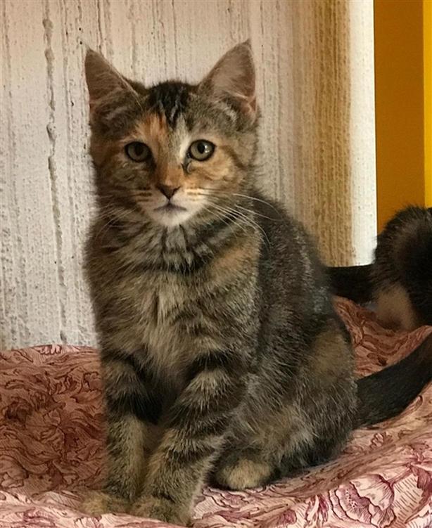 Autumn - Domestic Short Hair Kitten