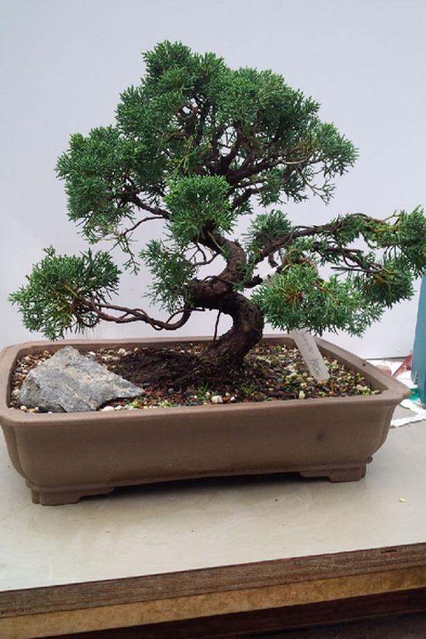Shimpaku Juniper Bonsai Outside Cowichan Valley Cowichan Mobile