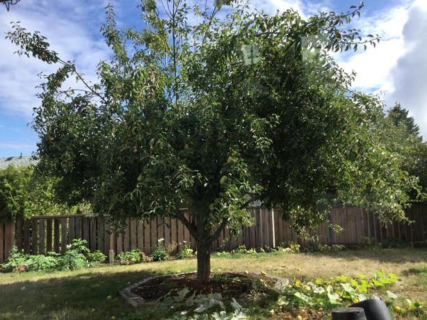 Free pears on tree