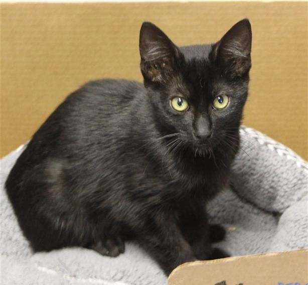 Pumba - Domestic Short Hair Kitten