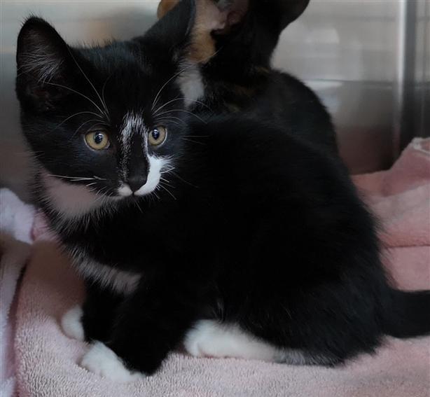Riddler - Domestic Short Hair Kitten