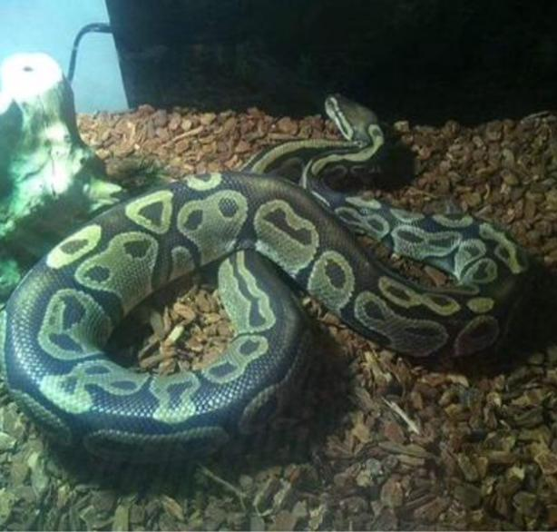 3- 5 Foot Ball Pythons with enclosure