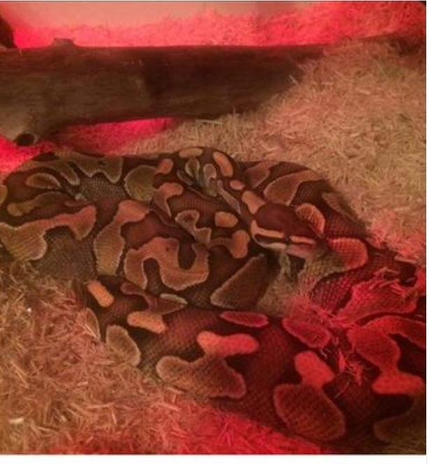 2 Ball Pythons with enclosure