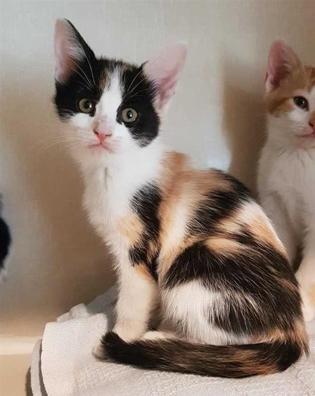 Oceanus - Domestic Short Hair Kitten