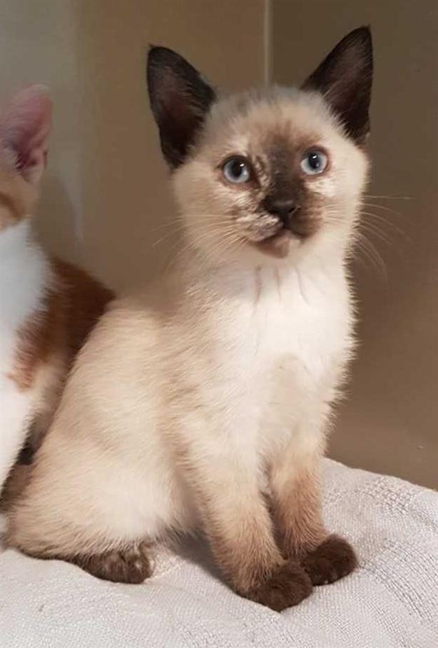 Aphrodite - Domestic Short Hair Kitten