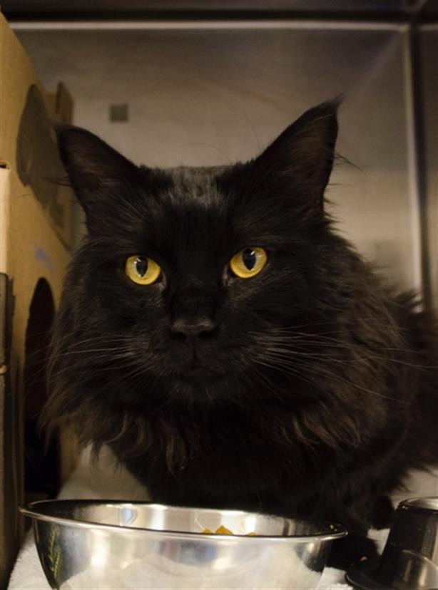 James  (e 8th / Clark) - Domestic Longhair Cat